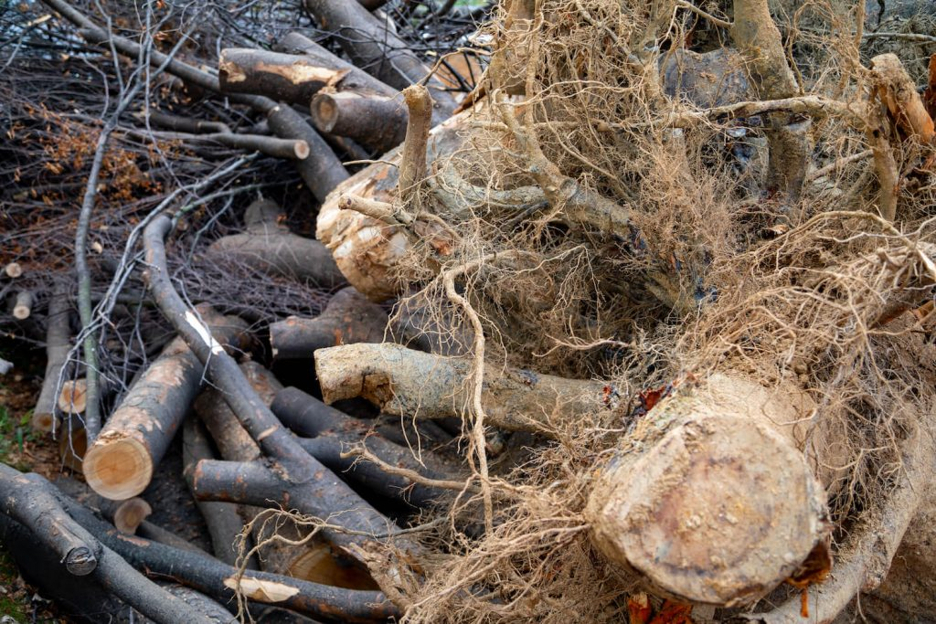 What is woody biomass?
